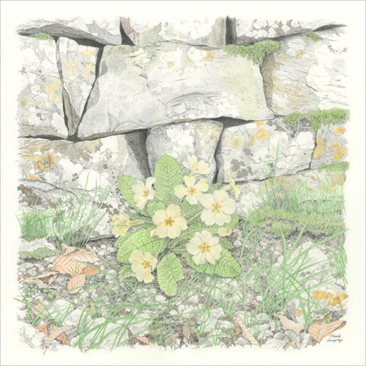 'Primrose and Limestone' - Something a little different for me, a primrose and limestone wall. Colour pencil and pencil - 31 x 31 cm.
